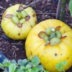 Garcinia Cambogia Diet Pills – Will it Work for You?